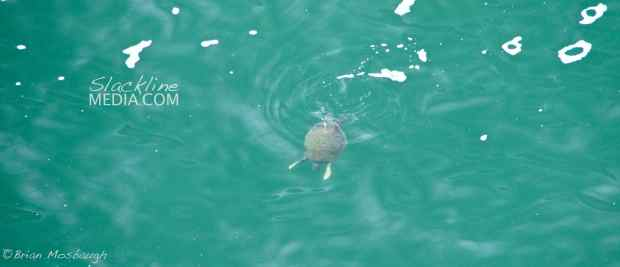 Sea turtle sightings everywhere